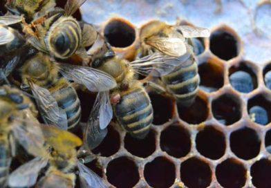 Как определить степень заклещенности пчелиной семьи